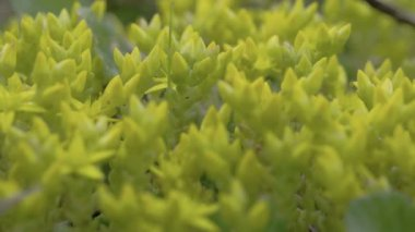 Close-up view of the petals of yellow serum plant FS700 Odyssey 7Q — Stock Video