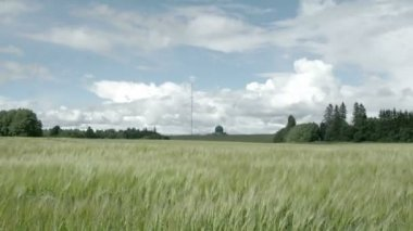 The horizon view of the field with lots of green barley plant FS700 Odyssey 7Q — Stock Video