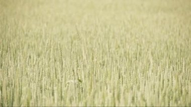L'herbe de blé ondulant sur la brise de la vent fs700 odyssée 7 q — Vidéo