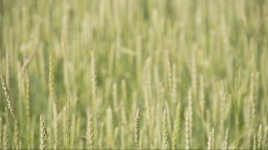 Close up look of the brown wheat grass FS700 Odyssey 7Q — Vidéo