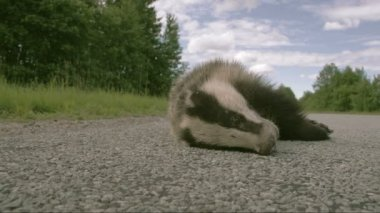 A dead Badger lying on the street FS700 Odyssey 7Q — Vidéo