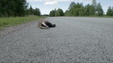 A dead black Badger lying on the side of the street FS700 Odyssey 7Q — Vidéo