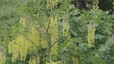 The mimosa green grass FS700 Odyssey 7Q — Stock Video