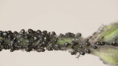 The flock of small black aphid on a stem FS700 Odyssey 7Q — Stockvideo