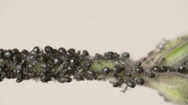 The flock of small black aphid on a stem FS700 Odyssey 7Q — Stok video