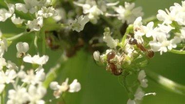 Dos pulgones arrastrándose sobre las flores fs700 odisea 7q — Vídeo de stock