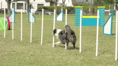 A dog crossing over ten sticks in a dog show  FS700 Odyssey 7Q — Stock video