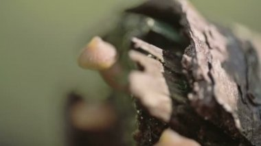 Mossy mushroom growing on the tree trunk  FS700 Odyssey 7Q — ストックビデオ
