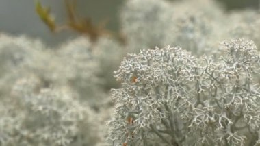 Lots of white cup lichen or Brodo on display GH4 4K UHD — Stock Video