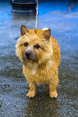 Norwich Terrier — Photo