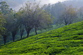 Trees and Tea Plants — Stok fotoğraf