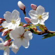 Stock Photo: Flowers of cherry tree - blossom time in spring!