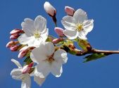 Flowers of an cherry tree - blossom time in spring! — Stock Photo