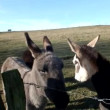 Stock video: Three donkeys