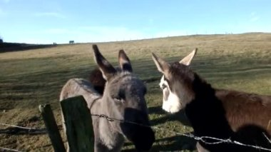 Three donkeys — Stock Video