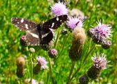 Butterfly at the meadow — Stock Photo