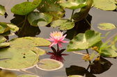 Water lily - Seerose — Stock Photo