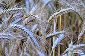 Barley - rich crop time — Stock Photo