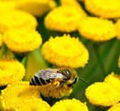 A bee visits yellow flowers at the meadow — Stock Photo