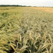 Barley grain field — Stockvideo