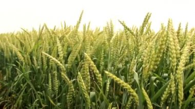 Wheat grain field slow motion — Stock Video