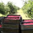 Picking cherries ,clip with multiple shots sequences — Stock Video