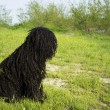 Hungarian herding dog ,PULI — Stock Photo