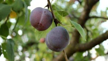 Prune plum — Stock Video