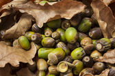 Leaves and acorns — Stock Photo