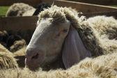 羊 — 图库照片