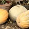 Pumpkins — Stock Video