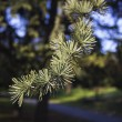 Stock Photo: Conifer