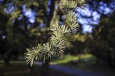 Conifer — Stock Photo