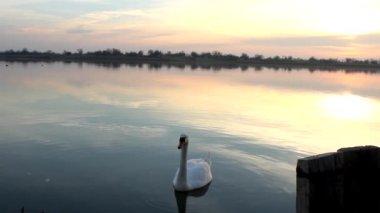 Beautiful swan — Stock Video