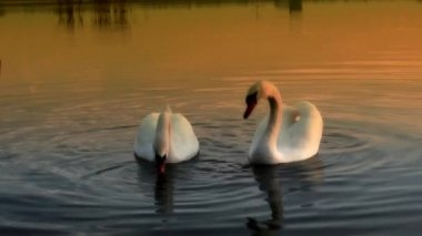 Beautiful swan — Video Stock