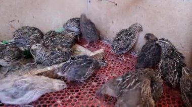Japanese quail — Stock Video