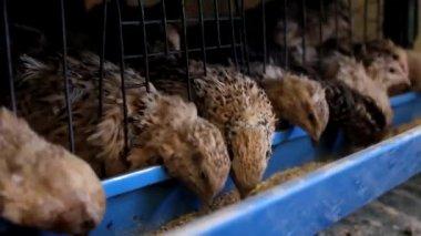 Japanese quail — Vidéo