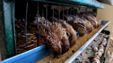 Japanese quail — Video Stock