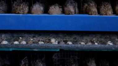 Japanese quail — Stockvideo
