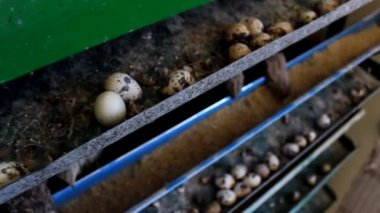Japanese quail — Wideo stockowe