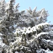 Snow fir tree — Stock Video