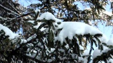 Snow fir tree — Stock Video