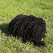Stock Photo: Corded puli -dog sit on grass