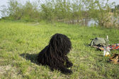 Corded puli -dog sit on the grass — Stock Photo