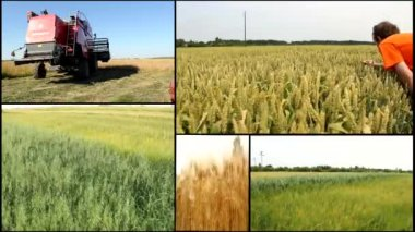 Wheat,oats barley grain field harvest multi split  screen — Stock Video