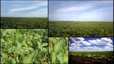 Soya field multiscreen — Stock Video