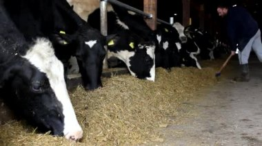 Dairy cows in the stable — Video Stock