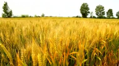 Wheat barley grain golden agricultural field — Stock Video