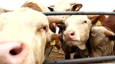 Cows and bulls cattle in the meadow grass farm mating seson — Stock Video
