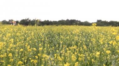 Agricultural rapeseed,oilseed rape, oats field in the vojvodina — Stock Video